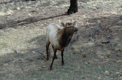 Elk at Estes Park