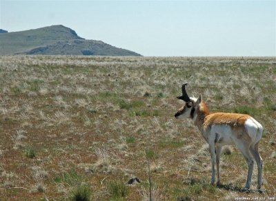 Pronghorn antelope on Antelope Island in the middle of Great Salk Lake.