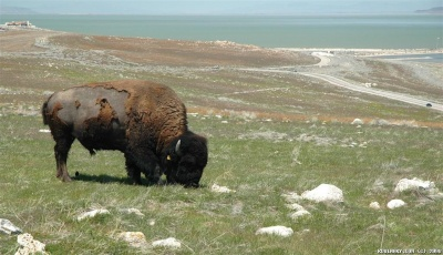 American bison on Antelope Island.