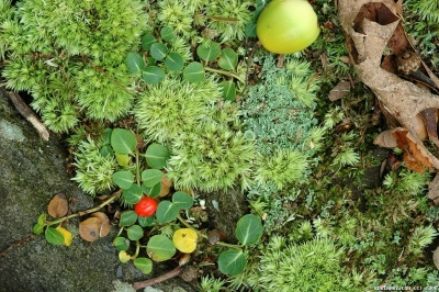 Moss, acorns and berries.