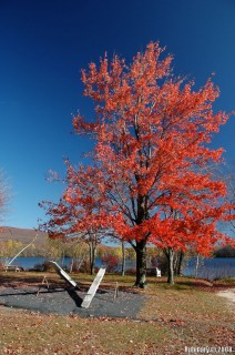 Maple tree dressed in red on the shore of Mountain Springs Lake.