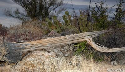 Dead Saguaro.