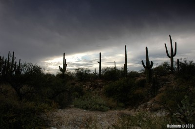 Saguaro forest at dusk.