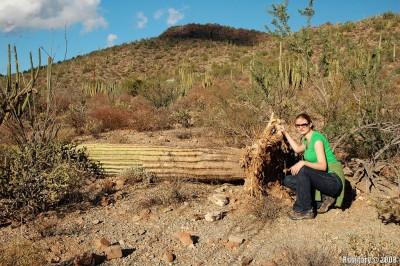 Fallen Saguaro. Organ Pipe Cactus NM.