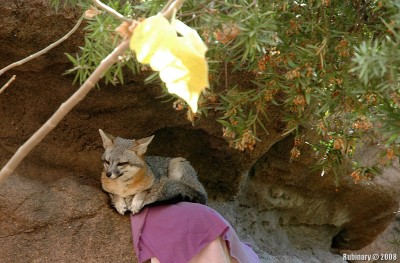 Fox at Desert Museum Zoo.