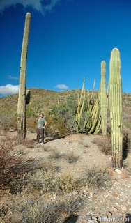Mega Saguaro at Organ Pipe Cactus NM.