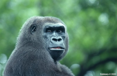 Female gorilla.