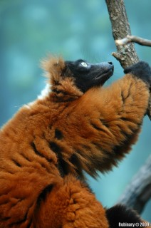 One of the crazy, super noisy lemurs.