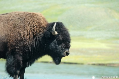 Huge bison with some grass stuck in his mouth. And yes, definitely HIS.