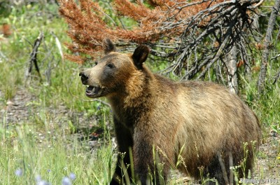 Grizzly bear was not more than 2 meters away from the road.