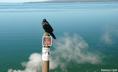 Raven at Steamboat Point.