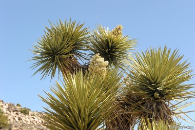 Blooming Joshua Tree.