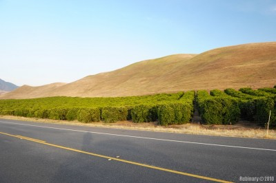 One of many lemon or orange gardens along California roads.