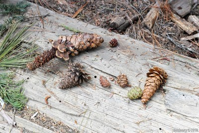 The smaller cones on the right are Sequoia cones.
