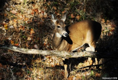 One of many deer in Shenandoah.