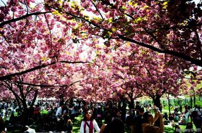 Sakura garden.