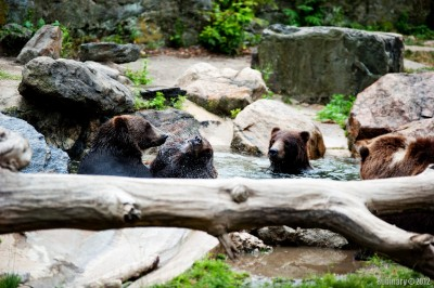 Bears at the zoo.