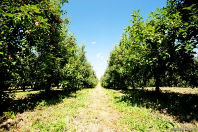 Two of many many rows of apple trees.