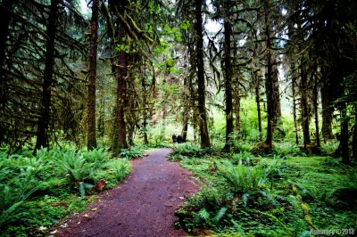 On a trail at Hoh Rainforest.