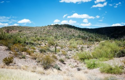 Road to Sedona. Saguaro forests.