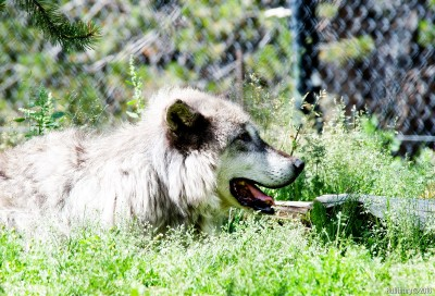 Wolf at Grizzly and Wolf Discovery Center.