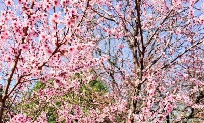 Sakura blooming at Brooklyn Botanical Garden.