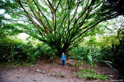 Giant tree.
