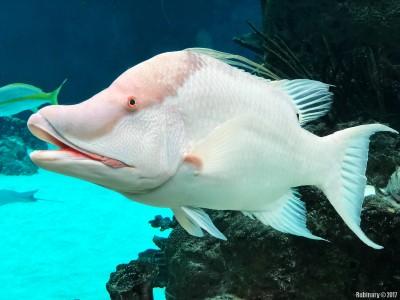Hogfish.