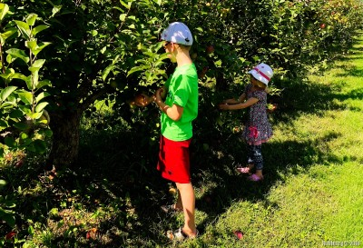 Getting apples.