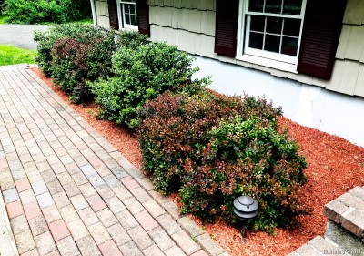 Mulched bushes.
