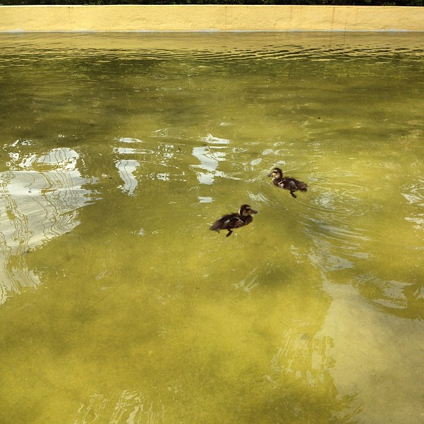 Ducklings (via Instagram)