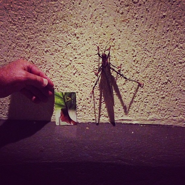 Giant Grasshopper (via Instagram)