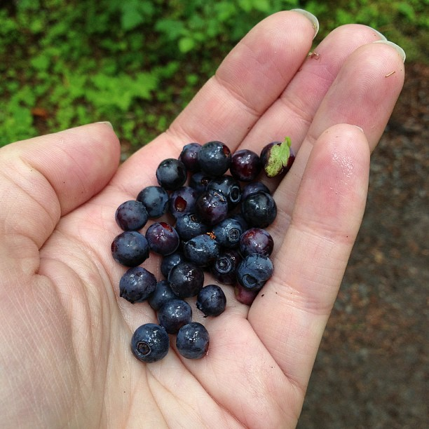 Wild Blueberries (via Instagram)