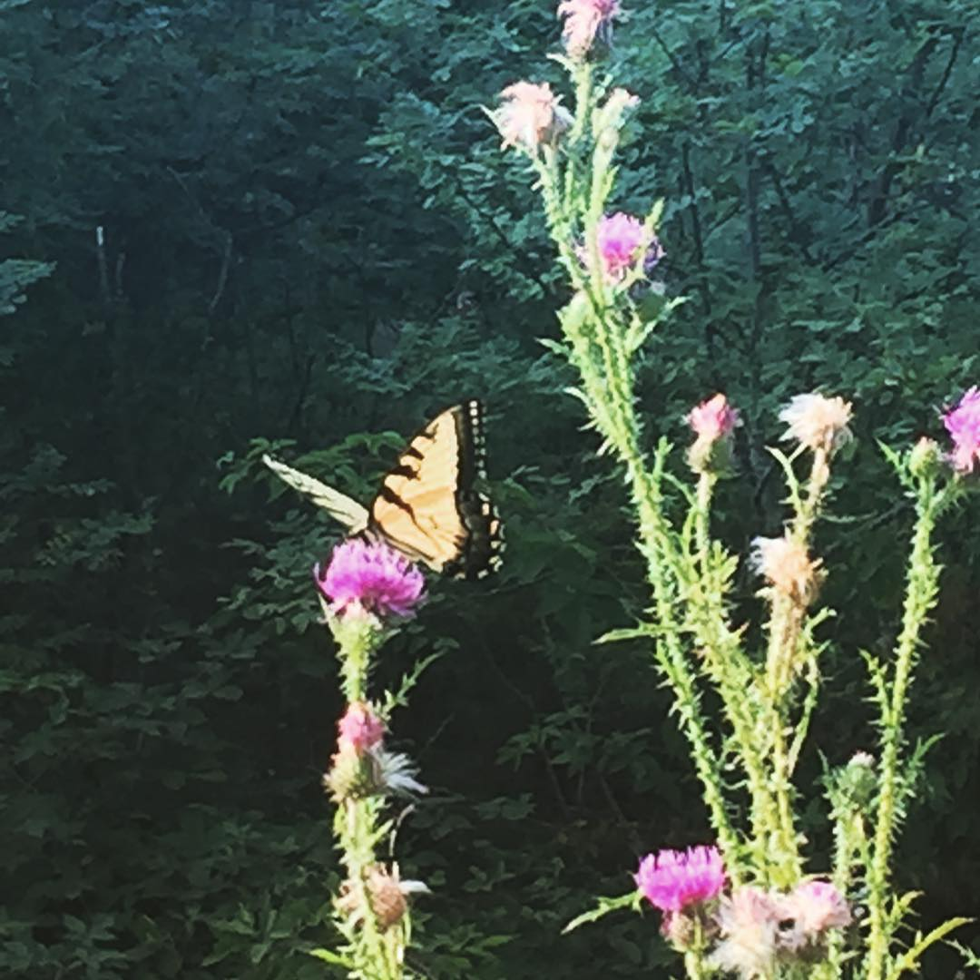 Butterfly @ Big Meadows at Shenandoah National Park