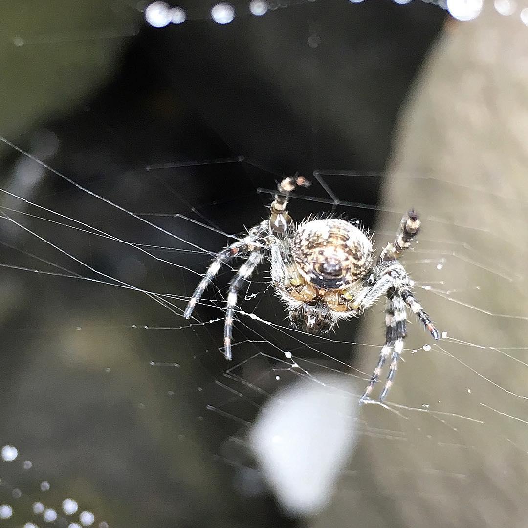 Icelandic Spider