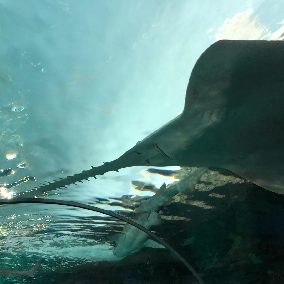 Magnificent Sawfish